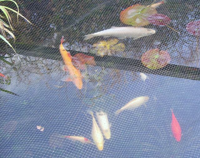 Pond fish under anti heron net