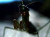 Mantis Head