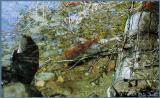 Salmon Run - Adam's River, BC