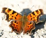 Green Comma - Polygonia faunus (summer)