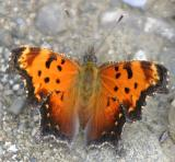 Gray Comma - Polygonia progne