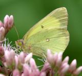 Pink-edged Sulphur - Colias interior