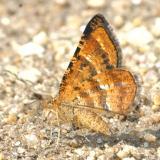 6321 -- Variegated Orange Moth -- Epelis [Macaria] truncataria