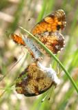 Pearl Crescent - Phyciodes cocyta mating