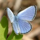 Silvery Blue - Glaucopsyche lygdamus male