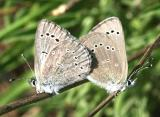 Silvery Blues - Glaucopsyche lygdamus mating