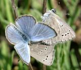 Silvery Blue - Glaucopsyche lygdamus times 3