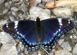 Red-spotted Purple - Limenitis arthemis