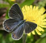 Karner Blue - Lycaeides melissa  female