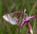 Dusted Skipper - Atrytonopsis hianna