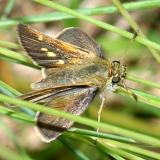 Tawny-edged Skipper - Polites themistocles, female