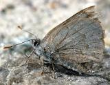 Early Hairstreak - Erora laeta