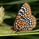 Baltimore Checkerspot - Euphydryas phaeton