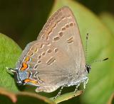 Edward's Hairstreak - Satyrium edwardsii