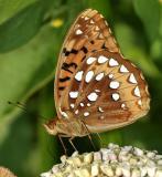 Great Spangled Fritillary - Speyeria cybele