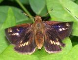 Mulberry Wing - Poanes massasoit, taking off