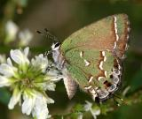 Juniper Hairstreak - Callophrys gryneus