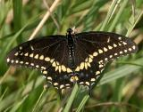 Black Swallowtail - Papilio polyxenes male