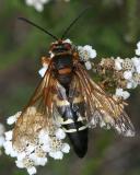 Sphecius speciosus - Cicada Killer