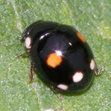 Esteemed Lady Beetle - Hyperaspis proba (female)