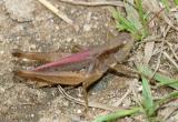 male Orphulella speciosa