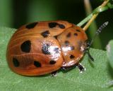 Argus Tortoise Beetle - Chelymorpha cassidea