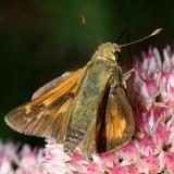 male Leonard's Skipper - Hesperia leonardus