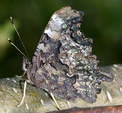 Green Comma - Polygonia faunus