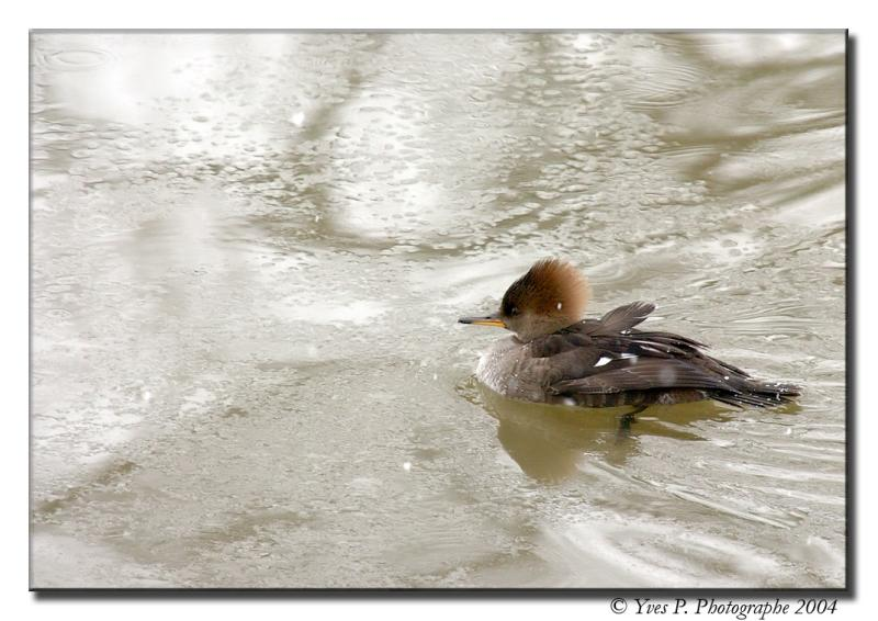 Duck and Ice ...