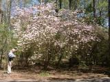One of  the many Galle monuments along the roads and trails at Callaway Gardens - Rhododendron canescens.