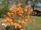 R. austrinum