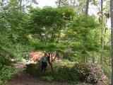 Acer palmatum 'Seiryu', John Brown