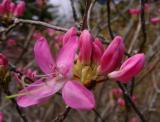 R. vaseyi 'April's Rose' MP 419.4 S, 5330'