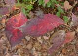Cornus florida (Dogwood)