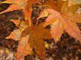 Acer palmatum 'Orido Nishiki' (?)
