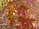 Acer palmatum seedling