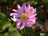 Anemone . . .