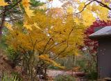 Acer palmatum linearilobum 'Atrolineare'