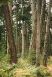 Douglas fir. Hornby Island, B.C.