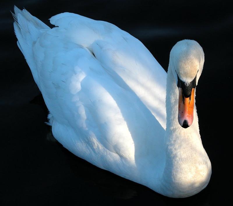 Swan 14