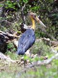 Lesser Adjutant endangered.jpg