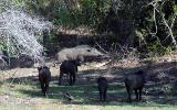 Wild Boars drive out leopards.jpg