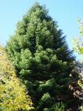 Fir tree in the front yard - the home heraldry