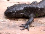Smallmouth Salamander (Ambystoma texanum)