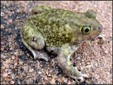 Couch's Spadefoot - Male
