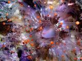 orangeball corallimorph