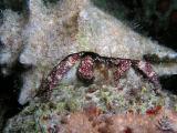 white speckled hermit