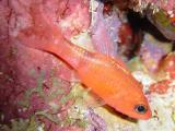 Cardinalfish