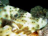 Scrawled Filefish 2