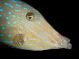 Scrawled Filefish 3